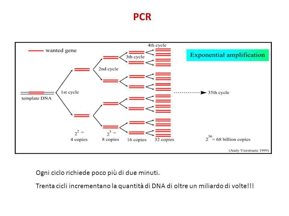 PCR Ogni ciclo richiede poco più di due minuti. Trenta cicli incrementano la quantità di DNA di oltre un miliardo di volte!!!