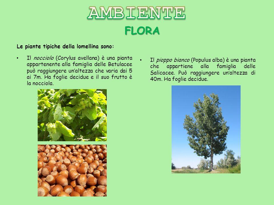FLORA Il nocciolo (Corylus avellana) è una pianta appartenente alla famiglia delle Betulacee può raggiungere unaltezza che varia dai 5 ai 7m. Ha fogli