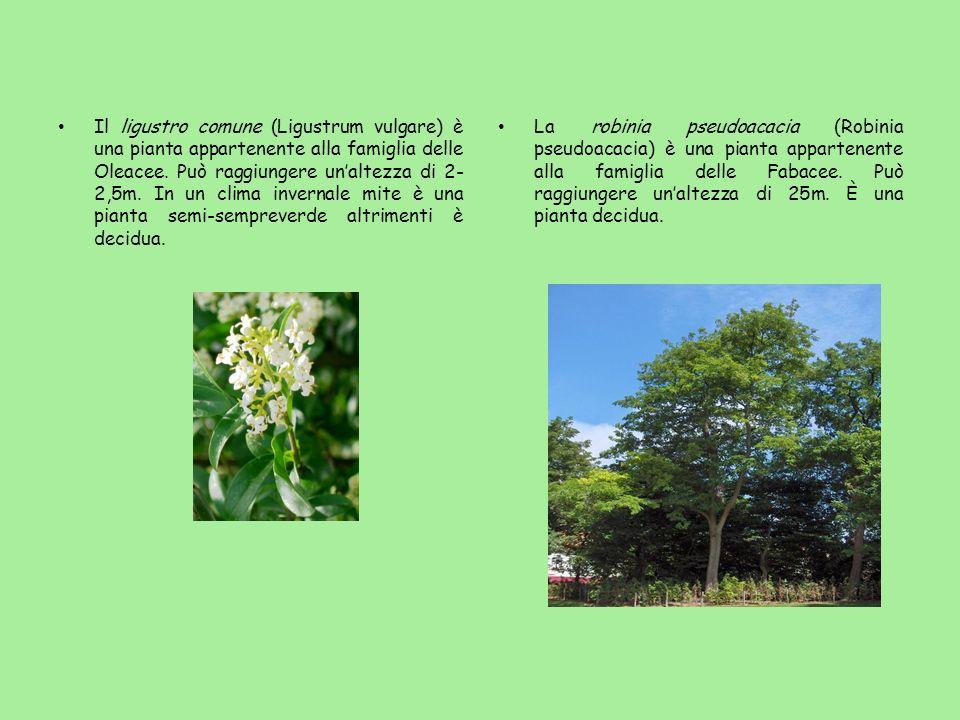 Il ligustro comune (Ligustrum vulgare) è una pianta appartenente alla famiglia delle Oleacee. Può raggiungere unaltezza di 2- 2,5m. In un clima invern