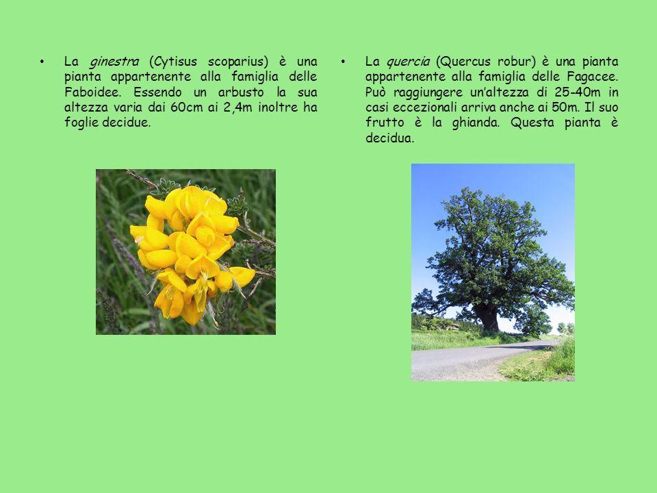 La ginestra (Cytisus scoparius) è una pianta appartenente alla famiglia delle Faboidee. Essendo un arbusto la sua altezza varia dai 60cm ai 2,4m inolt