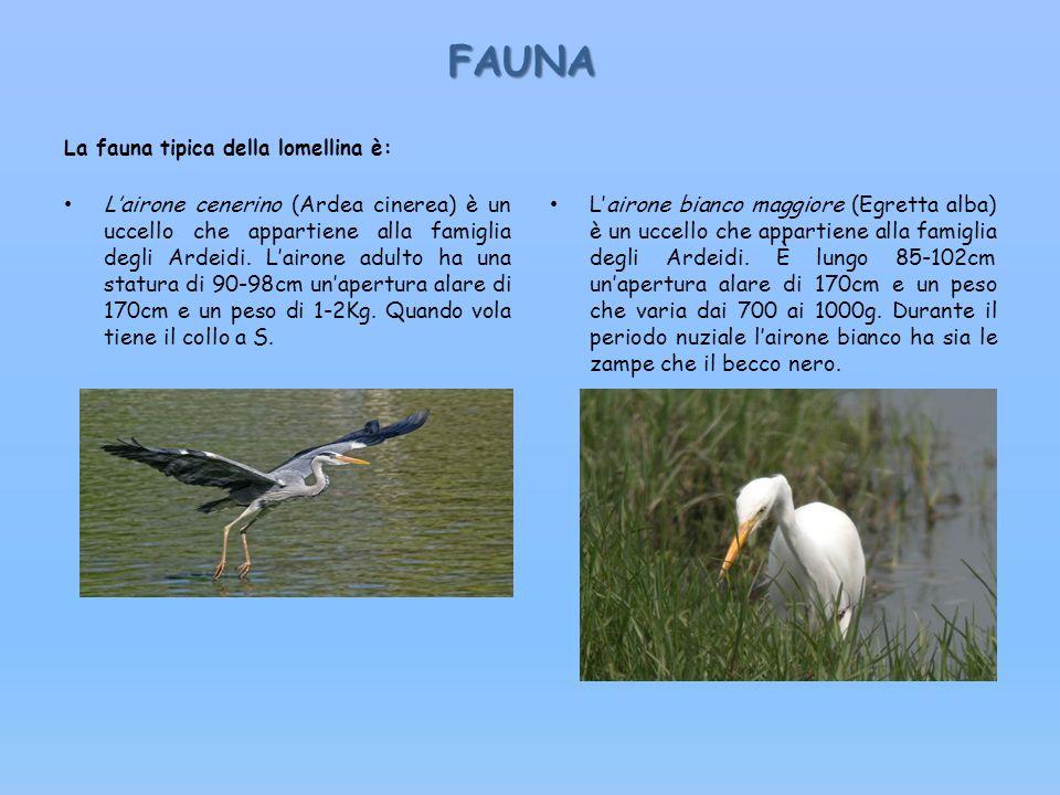 FAUNA FAUNA La fauna tipica della lomellina è: Lairone cenerino (Ardea cinerea) è un uccello che appartiene alla famiglia degli Ardeidi. Lairone adult