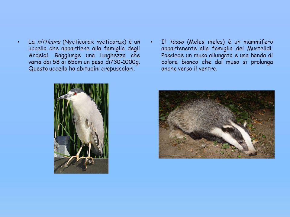 La nitticora (Nycticorax nycticorax) è un uccello che appartiene alla famiglia degli Ardeidi. Raggiunge una lunghezza che varia dai 58 ai 65cm un peso
