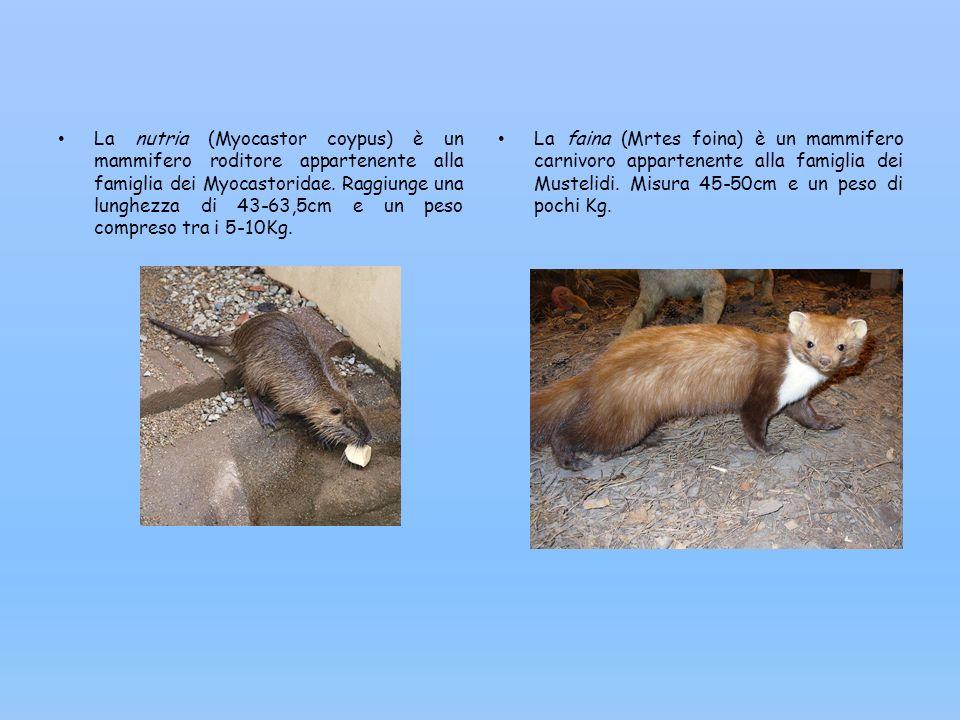 La nutria (Myocastor coypus) è un mammifero roditore appartenente alla famiglia dei Myocastoridae. Raggiunge una lunghezza di 43-63,5cm e un peso comp