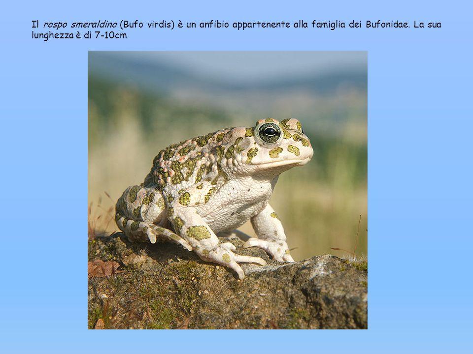 Il rospo smeraldino (Bufo virdis) è un anfibio appartenente alla famiglia dei Bufonidae. La sua lunghezza è di 7-10cm