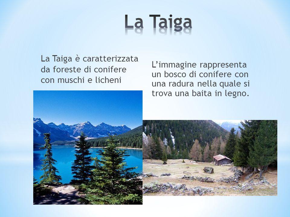 La Taiga è caratterizzata da foreste di conifere con muschi e licheni Limmagine rappresenta un bosco di conifere con una radura nella quale si trova u