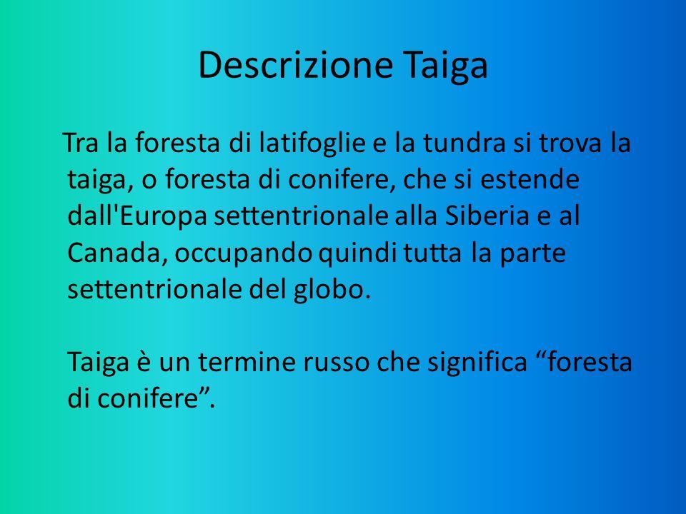 Descrizione Taiga Tra la foresta di latifoglie e la tundra si trova la taiga, o foresta di conifere, che si estende dall'Europa settentrionale alla Si