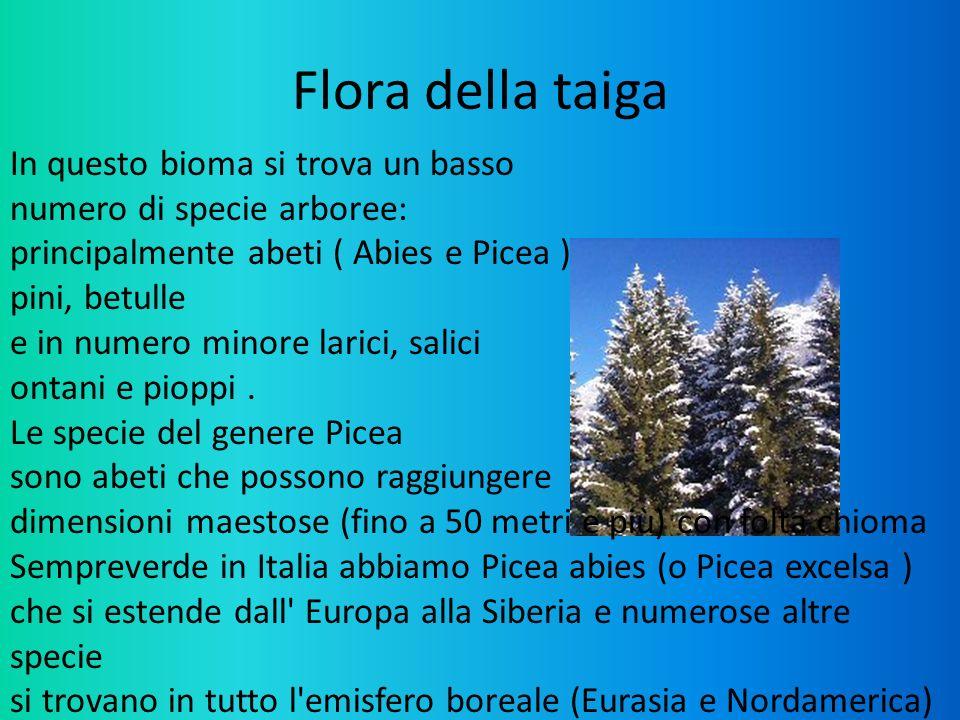 Flora della taiga In questo bioma si trova un basso numero di specie arboree: principalmente abeti ( Abies e Picea ) pini, betulle e in numero minore