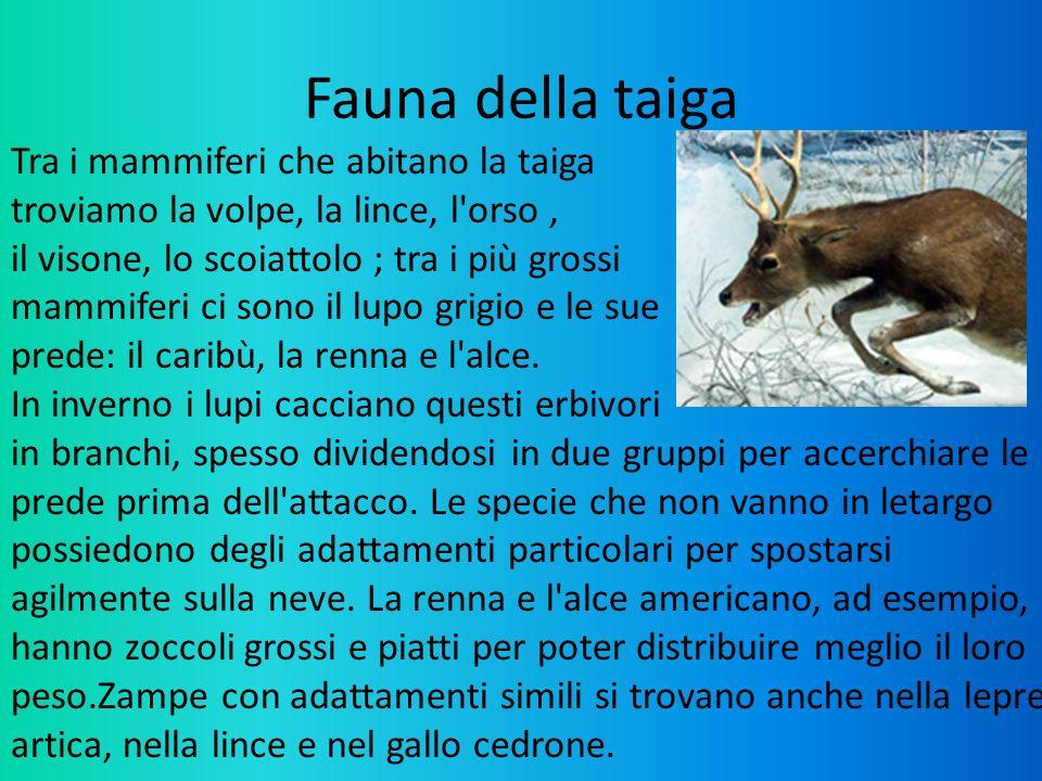 Fauna della taiga Tra i mammiferi che abitano la taiga troviamo la volpe, la lince, l'orso, il visone, lo scoiattolo ; tra i più grossi mammiferi ci s