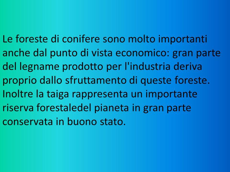 Le foreste di conifere sono molto importanti anche dal punto di vista economico: gran parte del legname prodotto per l'industria deriva proprio dallo