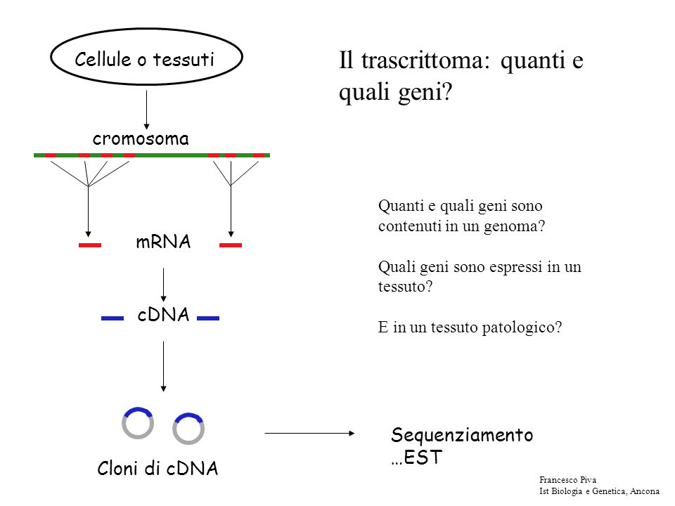 Noi possiamo allineare i trascritti sul DNA genomico tramite programmi disponibili su siti internet Questi programmi tengono conto che - il trascritto deve essere completamente contenuto nel DNA genomico - lappaiamento potrebbe non essere perfetto - lappaiamento può essere interrotto da introni Francesco Piva Ist Biologia e Genetica, Ancona