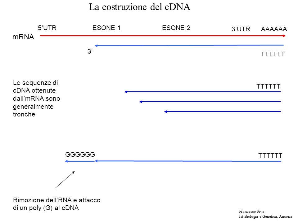 TTTTTT AAAAAA3UTR 5UTRESONE 1ESONE 2 mRNA TTTTTT 3 GGGGGG Rimozione dellRNA e attacco di un poly (G) al cDNA TTTTTT Le sequenze di cDNA ottenute dallmRNA sono generalmente tronche La costruzione del cDNA Francesco Piva Ist Biologia e Genetica, Ancona