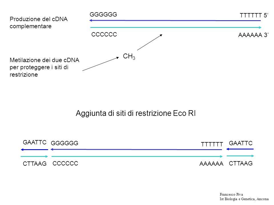 Generazione delle sequenze EST: etichette di sequenza espressa AAAAAAA cDNA clone sequencing primers 3 EST 5 EST Francesco Piva Ist Biologia e Genetica, Ancona