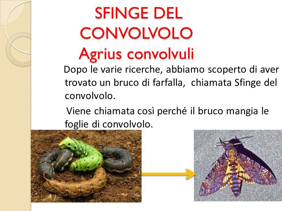 SFINGE DEL CONVOLVOLO Agrius convolvuli SFINGE DEL CONVOLVOLO Agrius convolvuli Dopo le varie ricerche, abbiamo scoperto di aver trovato un bruco di f