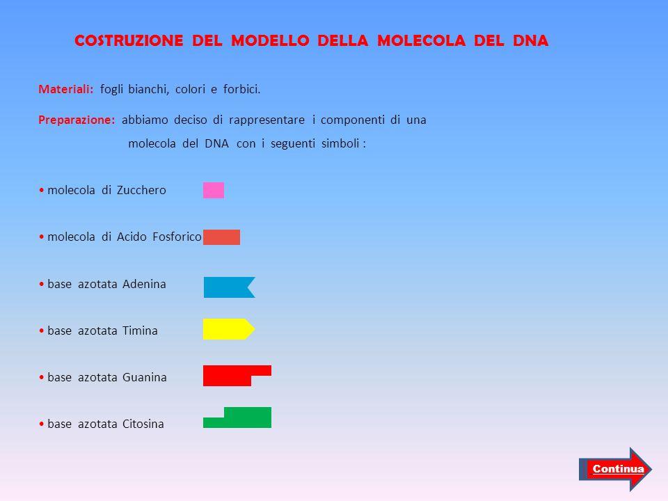 COSTRUZIONE DEL MODELLO DELLA MOLECOLA DEL DNA Materiali: fogli bianchi, colori e forbici. Preparazione: abbiamo deciso di rappresentare i componenti