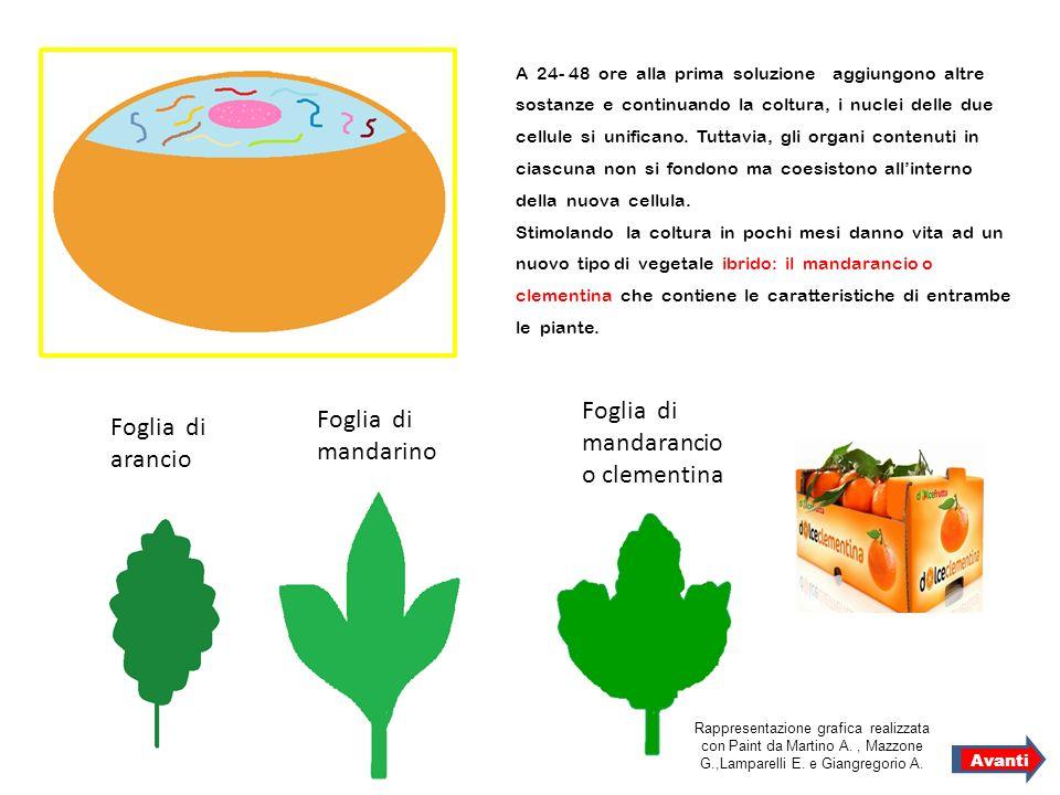 A 24- 48 ore alla prima soluzione aggiungono altre sostanze e continuando la coltura, i nuclei delle due cellule si unificano. Tuttavia, gli organi co