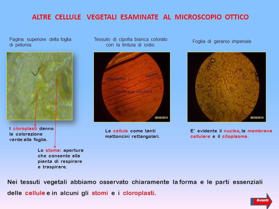 ALTRE CELLULE VEGETALI ESAMINATE AL MICROSCOPIO OTTICO Nei tessuti vegetali abbiamo osservato chiaramente la forma e le parti essenziali delle cellule