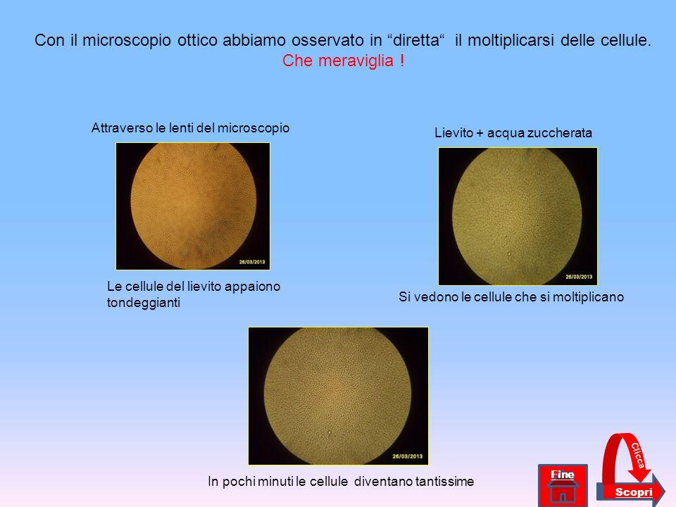 Le cellule del lievito appaiono tondeggianti Si vedono le cellule che si moltiplicano In pochi minuti le cellule diventano tantissime Con il microscop