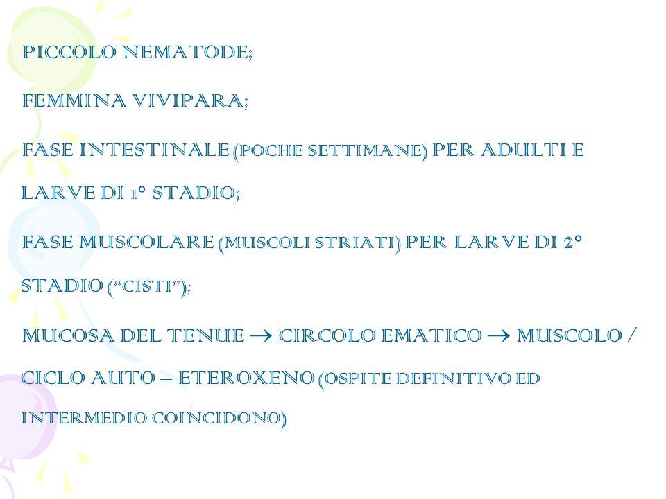 PICCOLO NEMATODE; FEMMINA VIVIPARA; FASE INTESTINALE (POCHE SETTIMANE) PER ADULTI E LARVE DI 1° STADIO; FASE MUSCOLARE (MUSCOLI STRIATI) PER LARVE DI 2° STADIO (CISTI); MUCOSA DEL TENUE CIRCOLO EMATICO MUSCOLO / CICLO AUTO – ETEROXENO (OSPITE DEFINITIVO ED INTERMEDIO COINCIDONO)