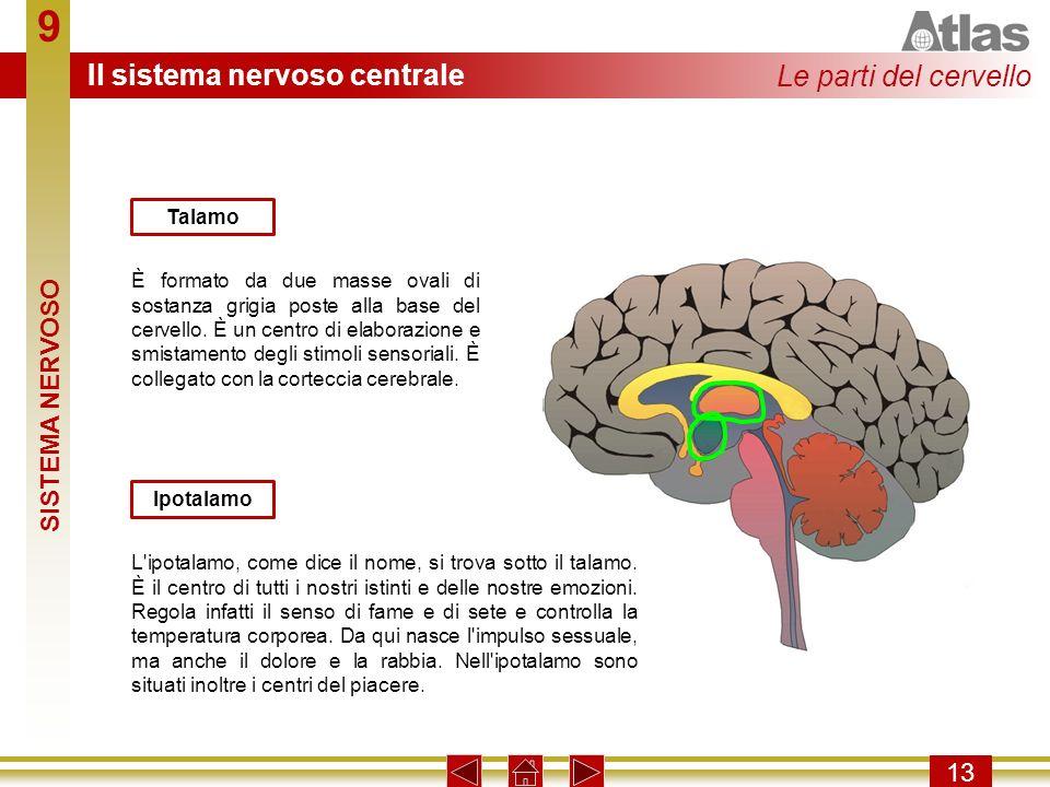 9 13 È formato da due masse ovali di sostanza grigia poste alla base del cervello. È un centro di elaborazione e smistamento degli stimoli sensoriali.