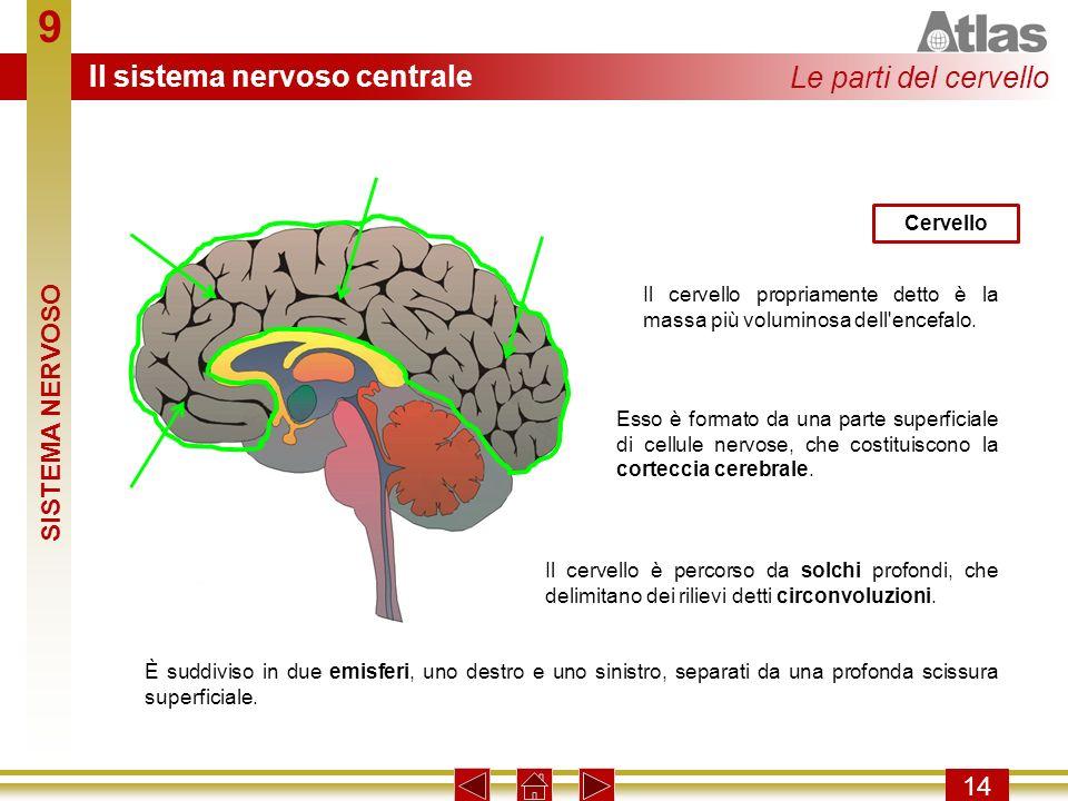 9 14 Il cervello propriamente detto è la massa più voluminosa dell'encefalo. Cervello Esso è formato da una parte superficiale di cellule nervose, che