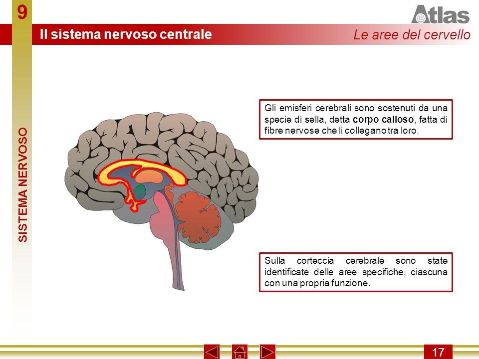 9 17 Gli emisferi cerebrali sono sostenuti da una specie di sella, detta corpo calloso, fatta di fibre nervose che li collegano tra loro. Sulla cortec
