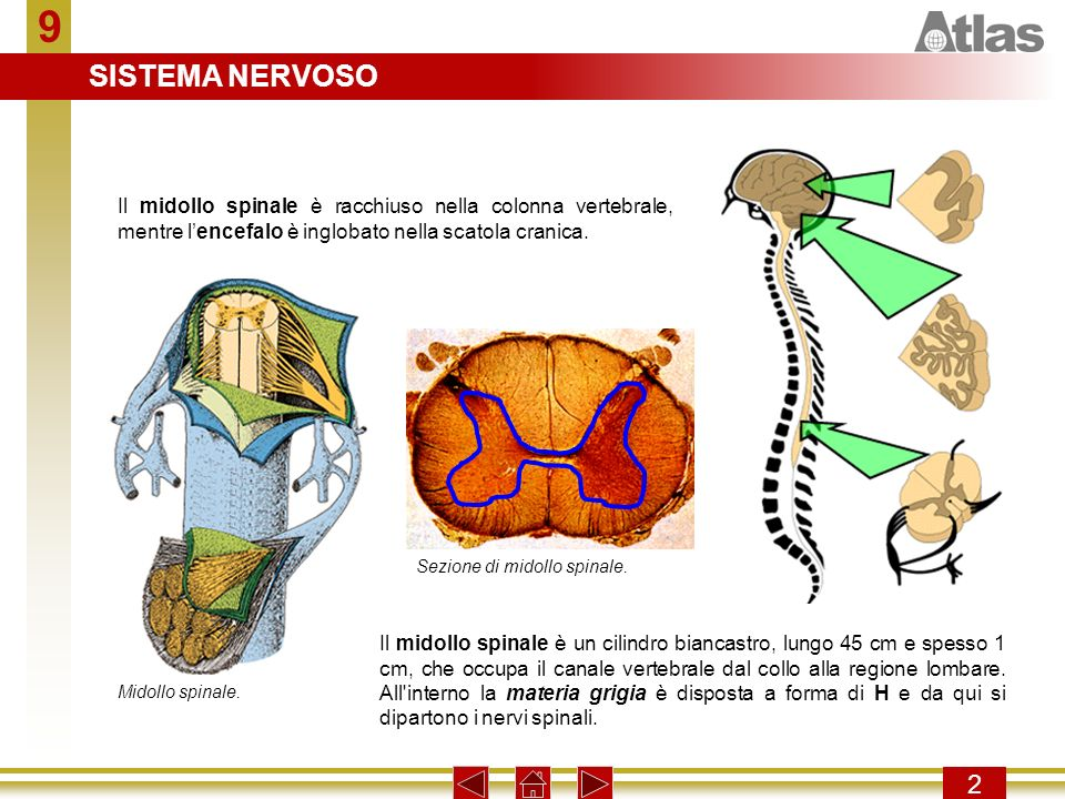 9 2 Il midollo spinale è racchiuso nella colonna vertebrale, mentre lencefalo è inglobato nella scatola cranica. Il midollo spinale è un cilindro bian