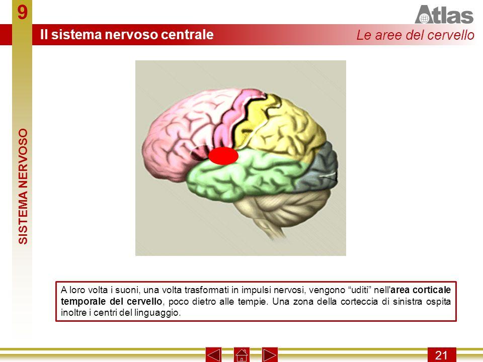 9 21 A loro volta i suoni, una volta trasformati in impulsi nervosi, vengono uditi nell'area corticale temporale del cervello, poco dietro alle tempie