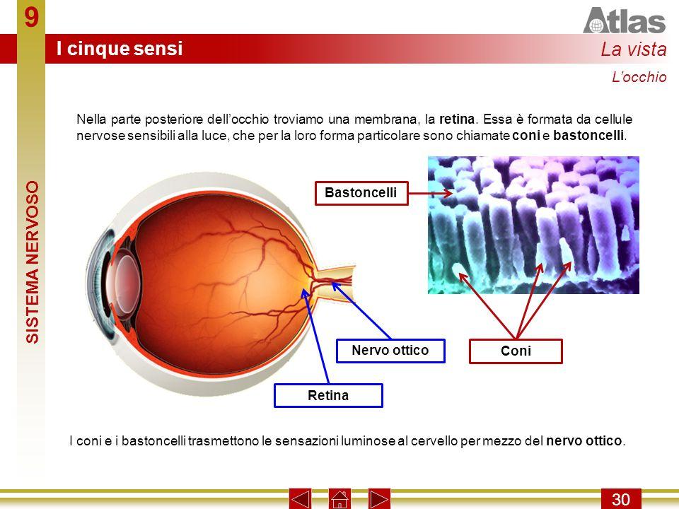 9 30 Nella parte posteriore dellocchio troviamo una membrana, la retina. Essa è formata da cellule nervose sensibili alla luce, che per la loro forma