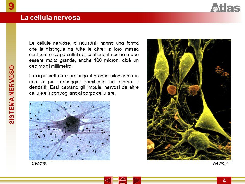 9 4 Il corpo cellulare prolunga il proprio citoplasma in una o più propaggini ramificate ad albero, i dendriti. Essi captano gli impulsi nervosi da al