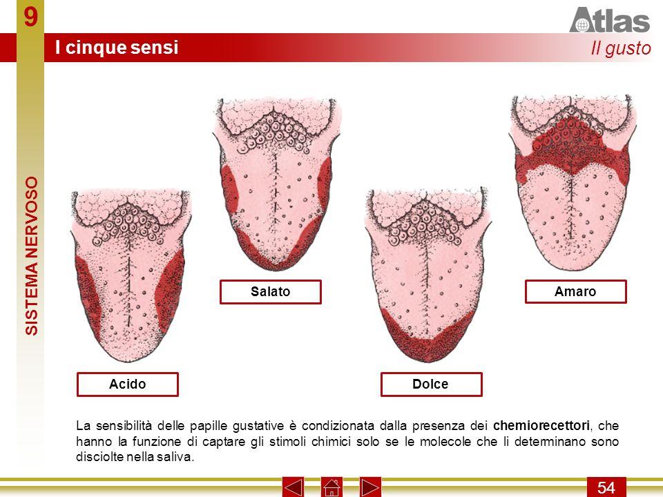 9 54 Acido Salato Dolce Amaro La sensibilità delle papille gustative è condizionata dalla presenza dei chemiorecettori, che hanno la funzione di capta