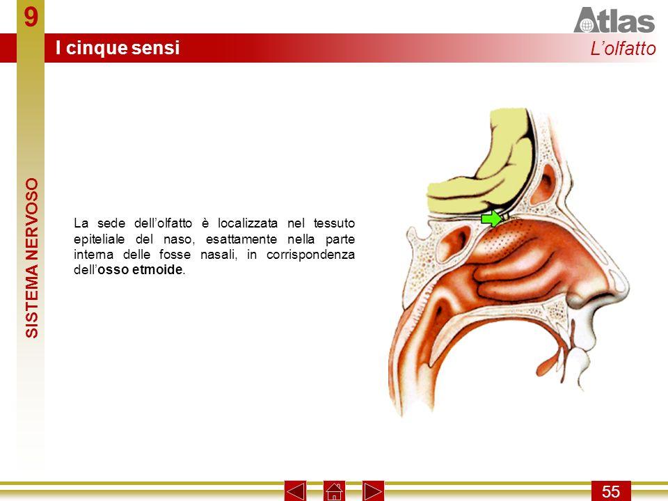9 55 La sede dellolfatto è localizzata nel tessuto epiteliale del naso, esattamente nella parte interna delle fosse nasali, in corrispondenza dellosso