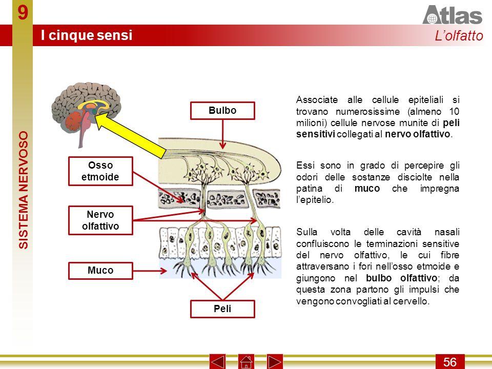 9 56 Associate alle cellule epiteliali si trovano numerosissime (almeno 10 milioni) cellule nervose munite di peli sensitivi collegati al nervo olfatt