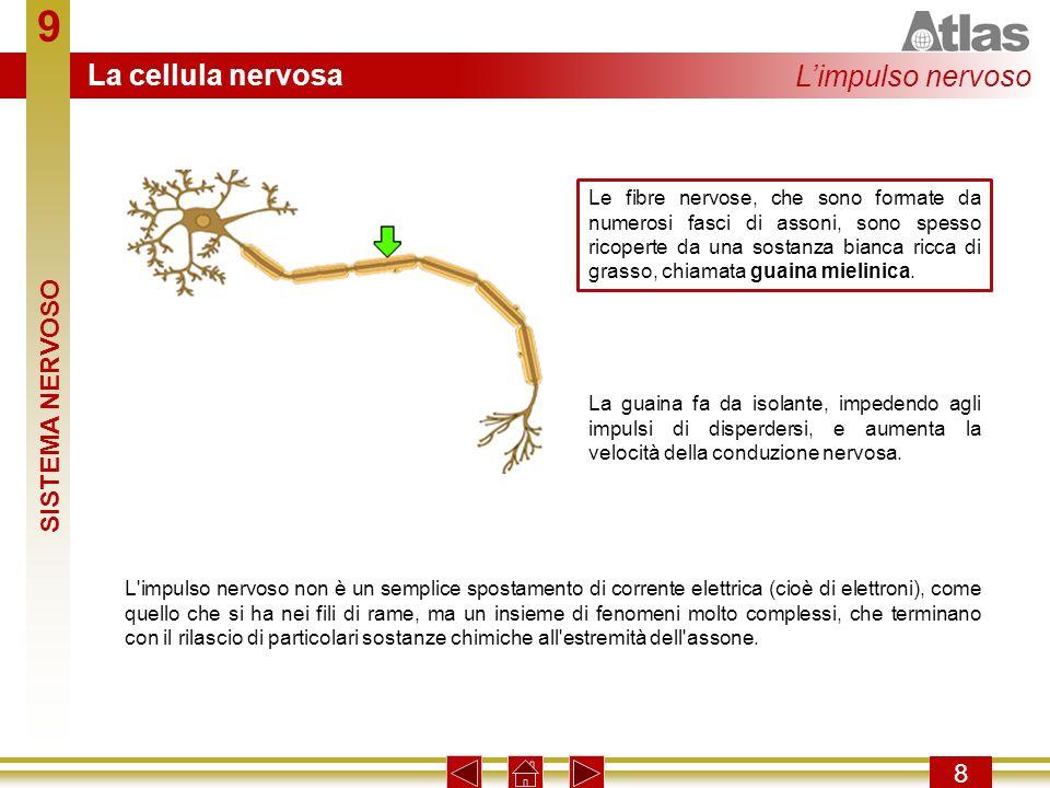 9 9 Lestremità dellassone si collega ad altre cellule tramite una giunzione detta sinapsi.