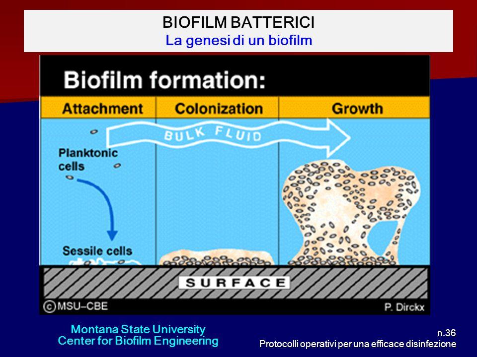 n.36 Protocolli operativi per una efficace disinfezione BIOFILM BATTERICI La genesi di un biofilm Montana State University Center for Biofilm Engineer