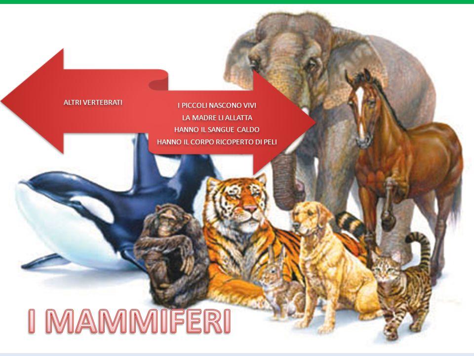 UCCELLO NOTTURNO RAPACE CACCIA PICCOLI ANIMALI, UCCELLI, INSETTI VIVE NELLE FORESTE DI CONIFERE LA SUA TESTA RUOTA DI 360°