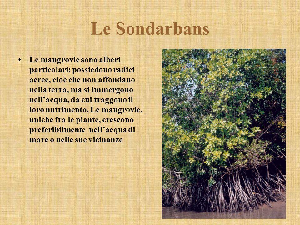 Le mangrovie sono alberi particolari: possiedono radici aeree, cioè che non affondano nella terra, ma si immergono nellacqua, da cui traggono il loro