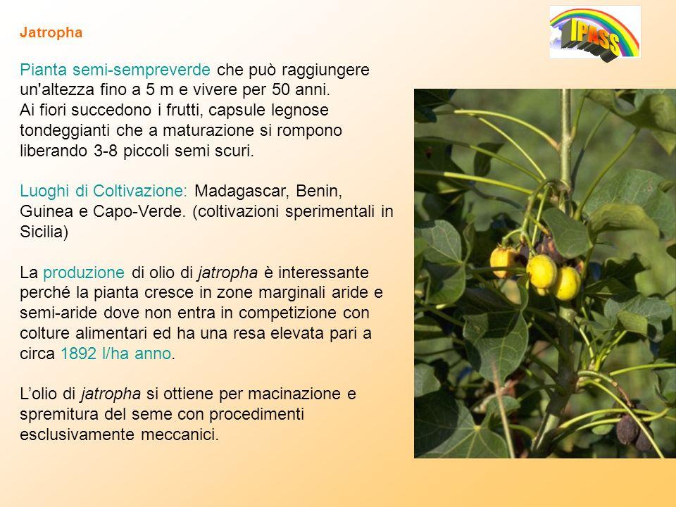 Jatropha Pianta semi-sempreverde che può raggiungere un'altezza fino a 5 m e vivere per 50 anni. Ai fiori succedono i frutti, capsule legnose tondeggi