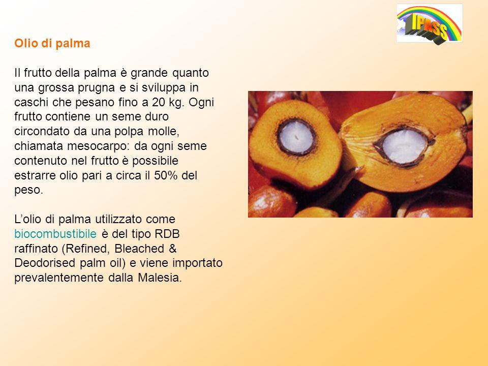 Olio di palma Il frutto della palma è grande quanto una grossa prugna e si sviluppa in caschi che pesano fino a 20 kg. Ogni frutto contiene un seme du