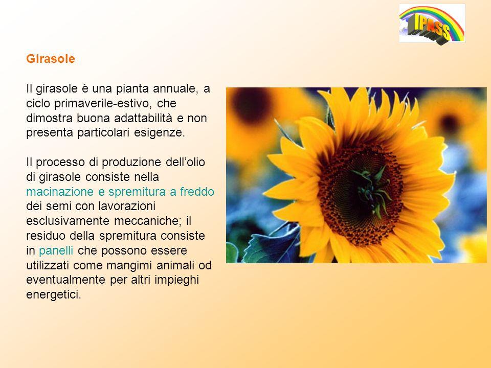 Girasole Il girasole è una pianta annuale, a ciclo primaverile-estivo, che dimostra buona adattabilità e non presenta particolari esigenze. Il process