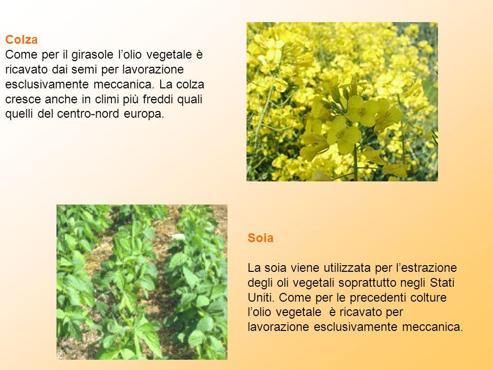 Colza Come per il girasole lolio vegetale è ricavato dai semi per lavorazione esclusivamente meccanica. La colza cresce anche in climi più freddi qual