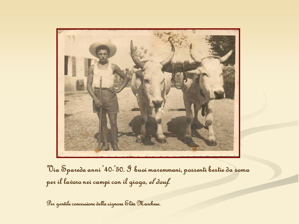 Via Spareda anni 40-50. I buoi maremmani, possenti bestie da soma per il lavoro nei campi con il giogo, el douf. Per gentile concessione della signora