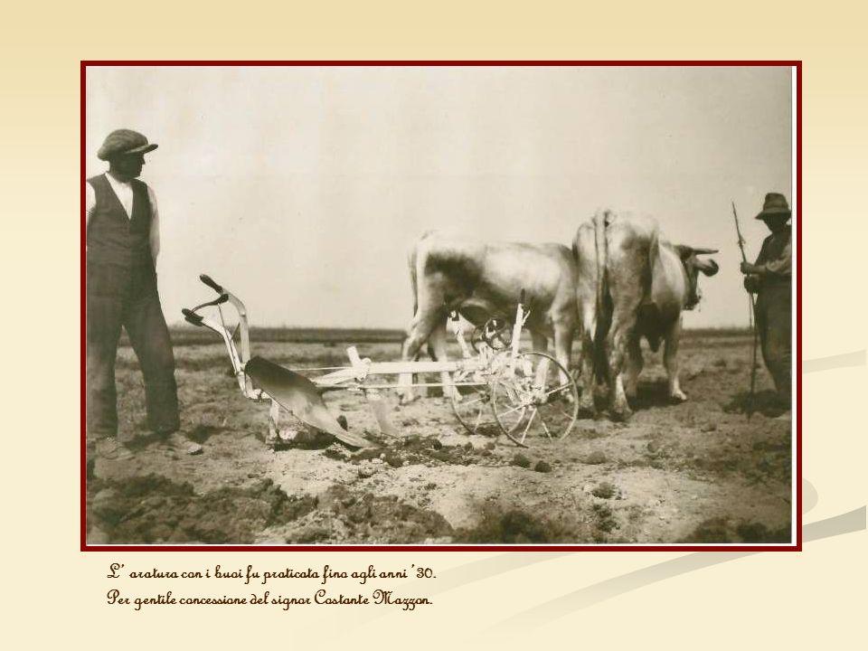 L aratura con i buoi fu praticata fino agli anni 30. Per gentile concessione del signor Costante Mazzon.