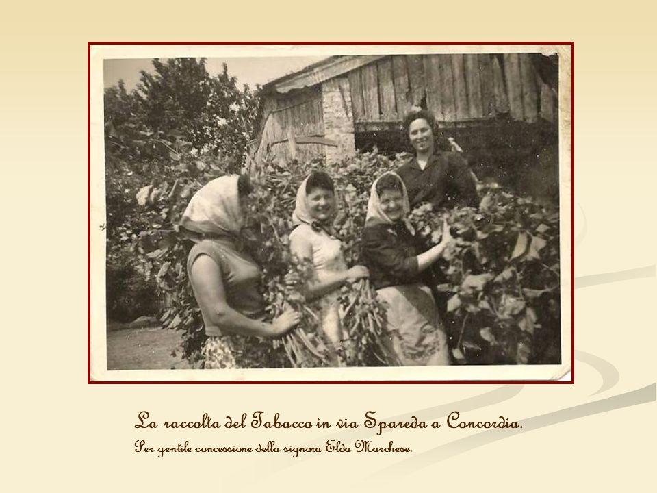 La raccolta del Tabacco in via Spareda a Concordia. Per gentile concessione della signora Elda Marchese.