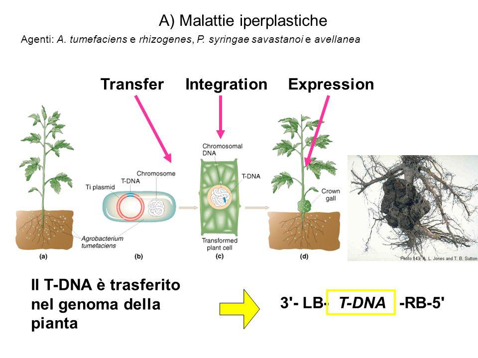 Il T-DNA è trasferito nel genoma della pianta IntegrationTransferExpression 3 - LB- T-DNA -RB-5 A) Malattie iperplastiche Agenti: A.