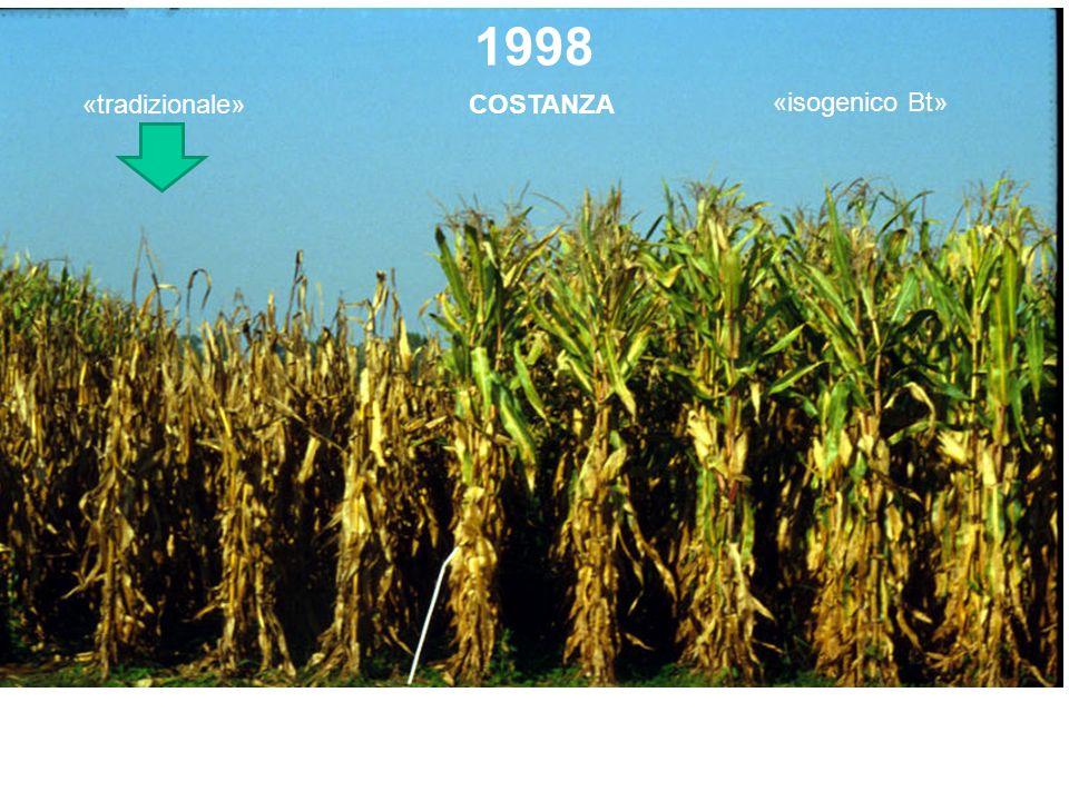 1998 COSTANZA«tradizionale» «isogenico Bt» Lodi, azienda Bianchini-Elias (oggi Assessore allAgricoltura in Lombardia) 5 ottobre (foto Maggiore)