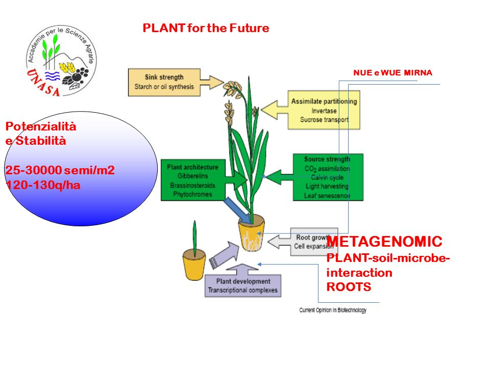 METAGENOMIC PLANT-soil-microbe- interaction ROOTS NUE e WUE MIRNA PLANT for the Future Potenzialità e Stabilità 25-30000 semi/m2 120-130q/ha