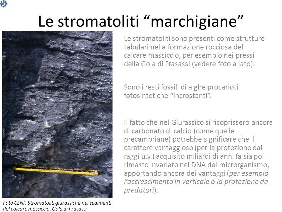 La scala dei tempi Eone EraPeriodo Avvenimenti geologiciEvoluzione della vita Sviluppo dei mammiferi FANEROZOICOFANEROZOICO MESOZOICOMESOZOICO Cretaci