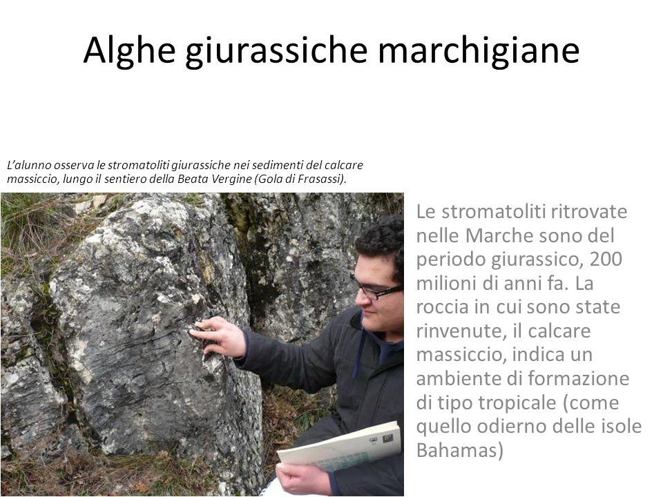 Le stromatoliti marchigiane Le stromatoliti sono presenti come strutture tabulari nella formazione rocciosa del calcare massiccio, per esempio nei pre
