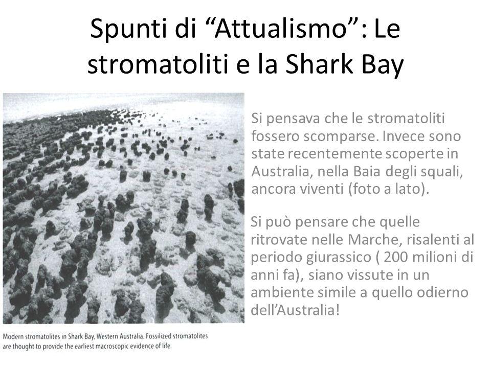 Alghe giurassiche marchigiane Le stromatoliti ritrovate nelle Marche sono del periodo giurassico, 200 milioni di anni fa. La roccia in cui sono state