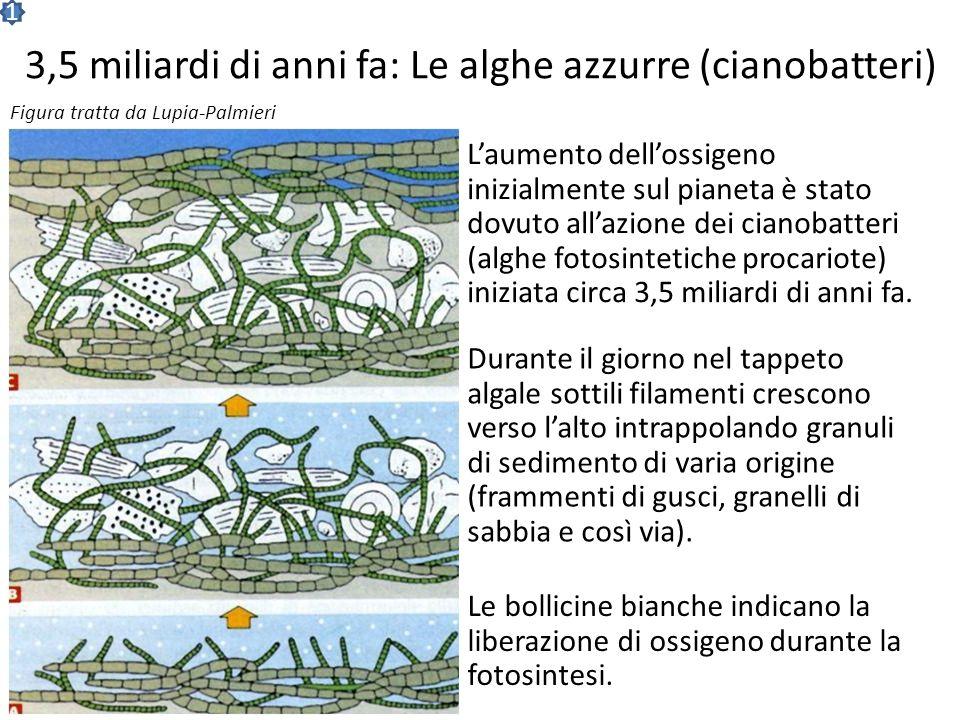 3,5 miliardi di anni fa: Le alghe azzurre (cianobatteri) Laumento dellossigeno inizialmente sul pianeta è stato dovuto allazione dei cianobatteri (alghe fotosintetiche procariote) iniziata circa 3,5 miliardi di anni fa.